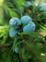Juniperus sibirica (Lora Black) Tags: plants nature flora cupressaceae sakhalin pinophyta  juniperus       juniperussibirica
