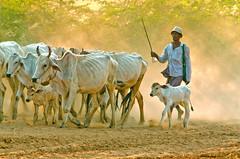 Returning From Pasture 8 (Artypixall) Tags: cattle dusk burma getty myanmar dust herd bagan faa herder
