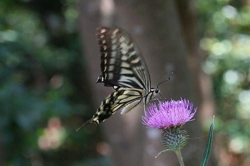 江の島のアゲハチョウ(Butterfly, Enoshima, Kanagawa, Japan)