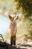 Curious young fox ... (Alex Verweij) Tags: wild holland nature netherlands beauty backlight licht young nederland natuur best fox hunter pup predator mybest flevoland almere jager tegenlicht vos plaatje bijzonder youngfox slicesoftime alexverweij jongevos