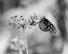 Feeding (wmacgyver) Tags: columbus blackandwhite bw film nature butterfly franklin nikon f100 conservatory ilford fp4 originalfilter