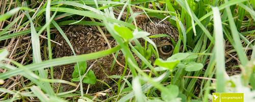 Levreau - baby hare