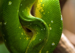"Green tree python skin • <a style=""font-size:0.8em;"" href=""http://www.flickr.com/photos/30765416@N06/10388946073/"" target=""_blank"">View on Flickr</a>"