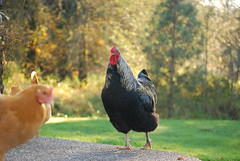 Perfect Pose (© S. D. 2010 Photography) Tags: black chicken pose gold perfect feathers rooster australorp wyandotte