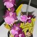 Miltonia spectabilis – Gil Ho