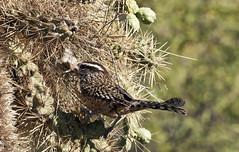 Cactus Wren (Campylorhynchus brunneicapillus); Catalina, AZ [Lou Feltz] (deserttoad) Tags: arizona cactus bird nature desert nest wildlife flight wren wildbird