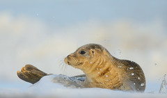 Common Seal (Benjamin Joseph Andrew) Tags: