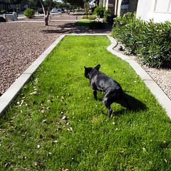 Pee (Lainey1) Tags: leica dog green pee grass oz bulldog frenchie pointshoot ozzy frogdog lainey1 leicadlux4 elainedudzinski