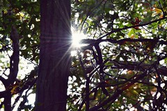 Lens Flare (LauraJSwindle) Tags: life trees plants usa sun ny nature leaves lens earth branches foliage flare he twigs wantagh nikond3100