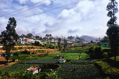 Ooty tea fields