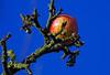 a stable high (Lutz Koch) Tags: tree apple ast manzana alma bluesky appel baum apfel pomme mela maçã äpple jablko jabłko jabuka æble アップル 苹果 eple jabolko яблоко 사과 تفاحة elkaypics