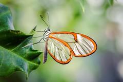 Ghost (hartp) Tags: brown macro green butterfly insect münchen deutschland clear tropical tropic grün braun insekt nahaufnahme schmetterling durchsichtig botanischergarten tropen tropisch hartp