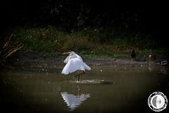 Airone 1 (marco.angelini83) Tags: nature birds animals natura uccelli palude animali airone bentivoglio larizza