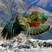 The Kea New Zealand