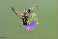 Megalodontes cephalotes (Explore) (alfvet) Tags: macro nikon natura insetti sigma150 parcodelticino veterinarifotografi d5100
