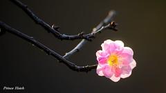 粉紅美梅 - Pink Plum Blossoms - Taichung City municipal Shuang-Shih Junior High School (prince470701) Tags: taiwan plumblossoms 台中市 taichungcity sigma70300mmmacro 寒梅 sonya850 台中市雙十國中 taichungcitymunicipalshuangshihjuniorhighschool