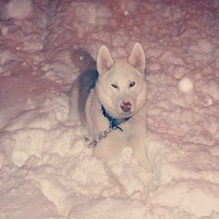 Meet Dakota (shelby) Tags: winter dog snow playing puppy outside husky wolf siberianhusky pup siberian laying