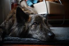Wilya (Jos Mecklenfeld) Tags: dog shepherd sony dutchshepherd herder nex 3n herdershond shepherddog wilya hollandseherder sonynex nex3n sonynex3n