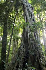 Small-leaf fig (Ficus obliqua) (Poytr) Tags: ficus ficusobliqua moraceae allynriver barringtontops stranglerfig smallleaffig subtropicalarf nswrfp arfp dungognsw chichesterstateforest smallleavedfig trunk australiasbiggesttrees