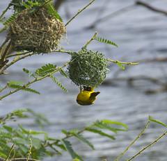 _DSC5408. Vever. Lake Mburo N.P. Uganda. (Berit Christophersen) Tags: bird aves uganda fugl lakemburo sonyalpha lakemburonationalpark ploceustaeniopterus northernmaskedweaver rrvever