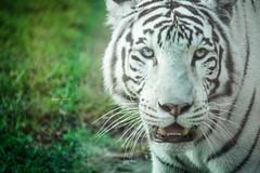 Tigre Blanco (Dennis • Pineda) Tags: dennispinedafotografia lima peru parquedelasleyendas zoologico zoo tigreblanco whitetiger