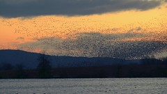 Snow Geese at Sunrise (snooker2009) Tags: bird birds flock group snow geese white nature wildlife pennsylvania migration winter spring lake sunrise