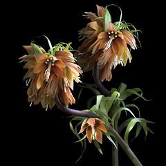 Frittilaria Imperialis (Pixel Fusion) Tags: frittilaria imperialis flower flora nature macro nikon d600