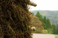 soba drying (Andi [アンデイ]) Tags: kurumidani japan kyoto kyotango mountain village rural ruraljapan nature people forest tea greentea macha food photography soba bukwheat