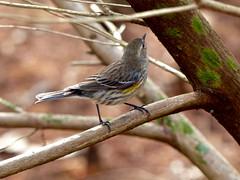 Yellow-rumped Warbler (Setaphaga coronata) (WRFred) Tags: florida bird nature wildlife warbler