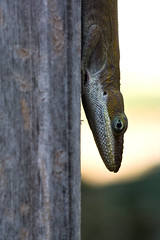 IMG_0034_2 Playing it Safe (oldimageshoppe) Tags: lizard greenanole frontporch spring
