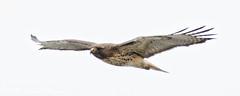 Hawk Flies Close (dcstep) Tags: englewood colorado unitedstates us cherrycreekstatepark bif birdinflght flight flying wings nature urban urbannature allrightsreserved copyright2017davidcstephens dxoopticspro1131 n7a4594dxo hawk raptor birdofprey redtailhawk copyrightregistered04222017 ecocase14949772801