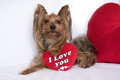 A cute lover valentine yorkshire terrier boy dog with a red hear (Nicovski) Tags: ifttt 500px young adorable animal anniversary attractive brown card cute dog doggy duo friend funny greeting heart holiday honeymoon isolated little longhaired love lovely lover mammal mini pet pillow pup puppy purebred red romantic sable soft sweet terrier together two valentine valentines day wedding white wishful woeful yorkie yorkshire