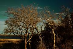 falling down (tom bourdot) Tags: 35mmf18 beach branches capturenx2 contrast landscape newjersey nikond5300 shore sunlight tangle texture tom bourdot hss sliderssunday