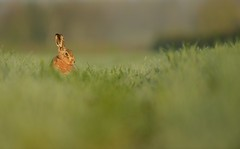 Brown Hare (Benjamin Joseph Andrew) Tags:
