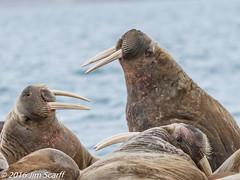 Meanwhile on shore, a couple of bahelor males sparring lazily (Jim Scarff) Tags: mammals marinemammals odobenusrosmarus pinnipeds wildlife walrus hinlopenstrait spitsbergen svalbard