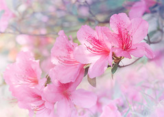 Warming up with the Spring Azaleas (Charles Opper) Tags: azalea georgia spring beautiful bokeh color dreamy flowers highkey light nature pastel soft