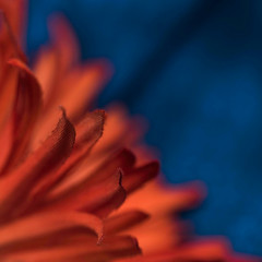 MM - Orange & Blue (belincs) Tags: 2017 april lincolnshire macromondays uk artificialflower indoor macro orangeblue scarf