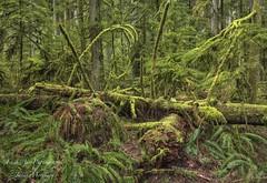 'Mossy Rainforest' (Freshairphotography) Tags: mossyrainforest rainforest moss mossytrees cathedralgrove vancouverisland beautifulbc forest greens peaceful park nature coast westcoast wetcoast