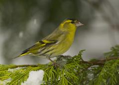 Siskin (J J McHale) Tags: siskin carduelisspinus bird nature wildlife