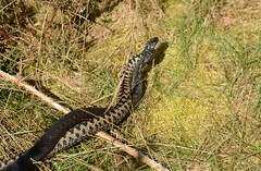 Dance of the Adders (1 of 2) (willjatkins) Tags: snakes snake snakesofeurope viperaberus viper vipera adder adders addercombat adderdance danceoftheadders melanisticadder animalbehaviour animalcombat ukreptilesandamphibians ukamphibiansandreptiles ukreptiles uksnakes ukwildlife britishwildlife britishamphibiansandreptiles britishreptilesandamphibians britishreptiles britishsnakes londonwildlife londonreptiles londonsnakes closeupwildlife closeup macro macrowildlife nikond7100 sigma105mm springwildlife