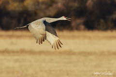 Sandhill Crane In Flight_20A8366 (Alfred J. Lockwood Photography) Tags: alfredjlockwood nature wildlife bird flight sandhillcrane bosquedelapachewildliferefuge morning newmexico autumn