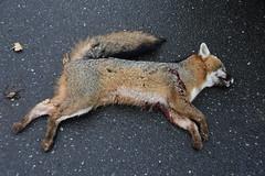 foxinbristol-BR-040717_7279 (newspaper_guy Mike Orazzi) Tags: fox federalhill bristol animalcontrol rabies 18200mmf3556gvr d500