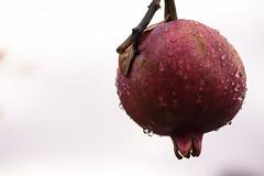 Future Grenadine (Jeremy Brooks) Tags: california carmelvalley droplet food fruit montereycounty pomegranate usa
