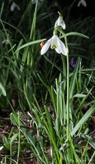 perce neige coccinelle (steph.kurzy) Tags: perce neige coccinelle bugs flower fleur