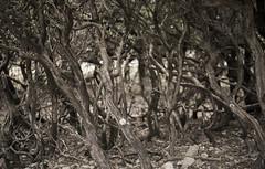 overgrazed Ikarian mountain forest (Aggathopos) Tags: ikaria aegean greece mountain overgrazing eerie spooky radi radiforest δάσοσράντη ικαρία forest