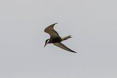 Whiskered Tern, Clocolan, Freestate, Dec 2017 (roelofvdb) Tags: 2016 338 clocolan date december dwesa16 place southernafricanbirds tern ternwhiskered whiskeredtern year