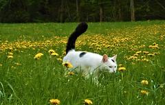 Miki strolling through meadow full of dandelions (vidaficko) Tags: miki strolling grass dandelion cat white yellow flowers