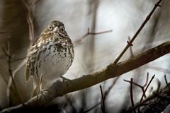 Fox Sparrow / Bruant fauve / Passerella iliaca (FRITSCHI PHOTOGRAPHY) Tags: foxsparrow bruantfauve passerella iliacajardin botanique de montréal