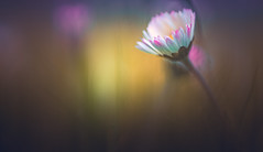 Born out of blurs (Dhina A) Tags: sony a7rii ilce7rm2 a7r2 wollensak 75mm f19 bokeh 19 oscilloscope daisy grass spring