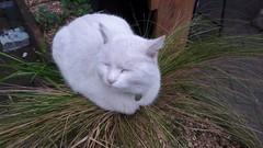 Cat Plant (helenoftheways) Tags: cats whitecat plants grass thegantry brockley london uk saffythecat